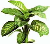 Dieffenbachia (Dumb Cane) Plant