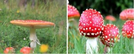 Amanita / Agaric Mushrooms
