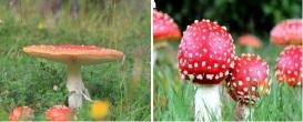 Amanita / Agaric Mushrooms