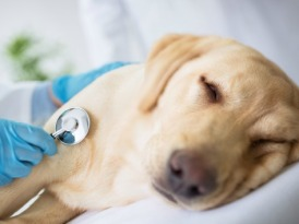 dog-flu-symptoms