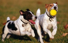 dogs-playing-dog_park