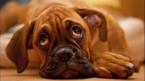 615473-dog-and-sad