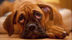 615473-dog-and-sad