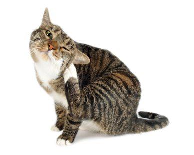 scratching-fleas