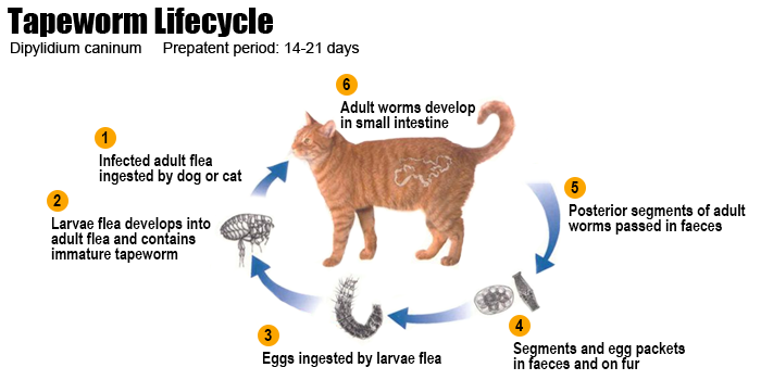 tapeworm-cycle3-cat-rf1