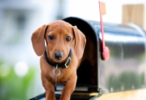 unleashed-paws-get-carded miniature-dachshund-in-a-mail-box