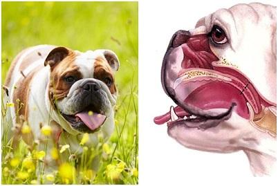 brachycephalic_dog_breeds_list_characteristics_and_care_2922_orig