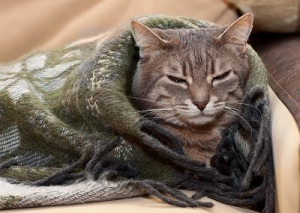 gray-cat-wrapped-in-blanket-SW